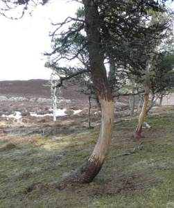 Trees_damaged_by_deer_-_geograph.org.uk_-_765683