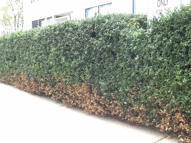 Salt Damage On Evergreen Shrubs