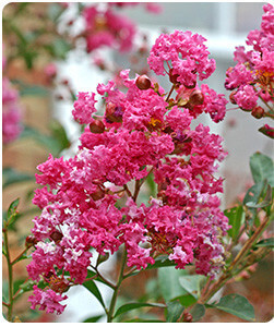 Bright Pink Crape Myrtle Flowering Tree