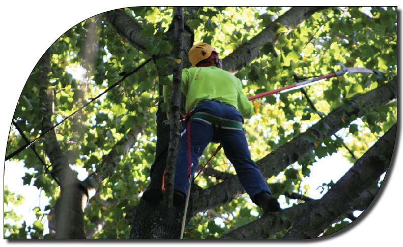 man pruning a tree with long pole