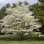 dogwood anthracnose 2