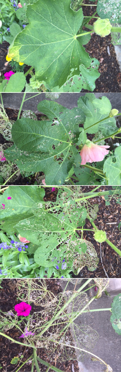Japanese Beetle Damage