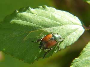 Japanese Beetle - Defoliating Insect 2