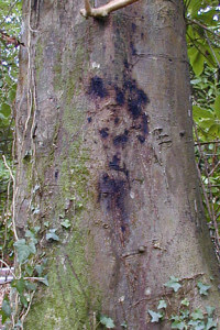 Bleeding Cankers On Beech Tree