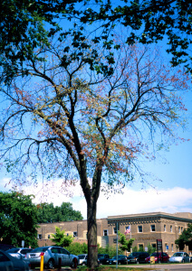 Dutch elm disease affecting an elm tree.