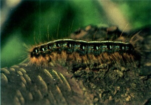 Eastern Tent Caterpillar - Defoliating Insect
