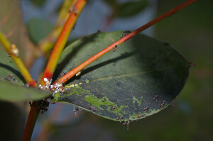 Aphids On Crape Myrtle - Sooty Mold