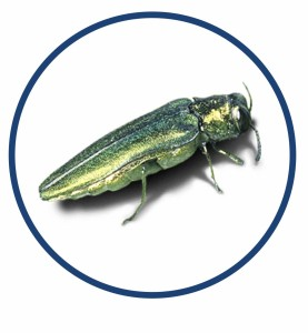 sick tree emerald ash borer program