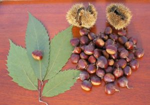 800px-american_chestnut