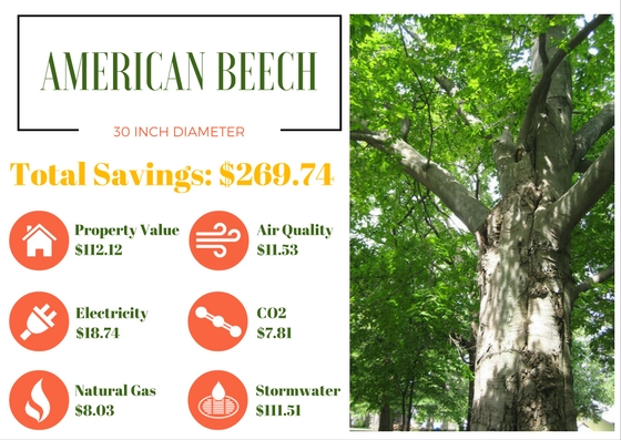 Benefits Of Trees American Beech
