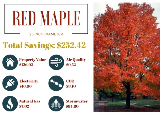 Benefits Of Trees Red Maple
