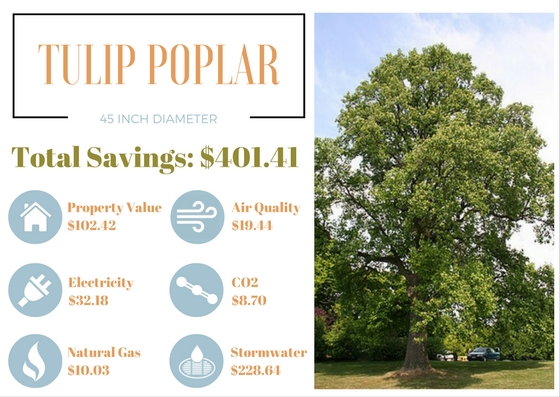 Benefits Of Trees Tulip Poplar