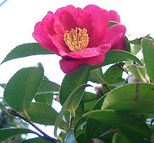 Camellia sasanqua - resistant to Phytophthora Root Rot