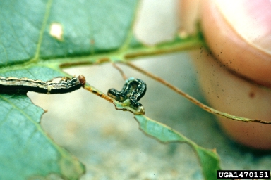 Cankerworm - Defoliating Insect