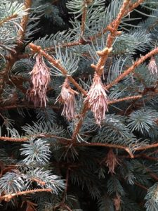 Bagworms on Evergreens 3