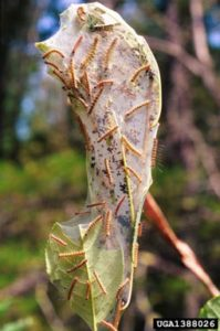Tree Bugs - Fall Webworm