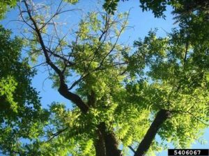 Tree Fungus - Thousands Canker Disease