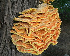 chicken of the woods fungus