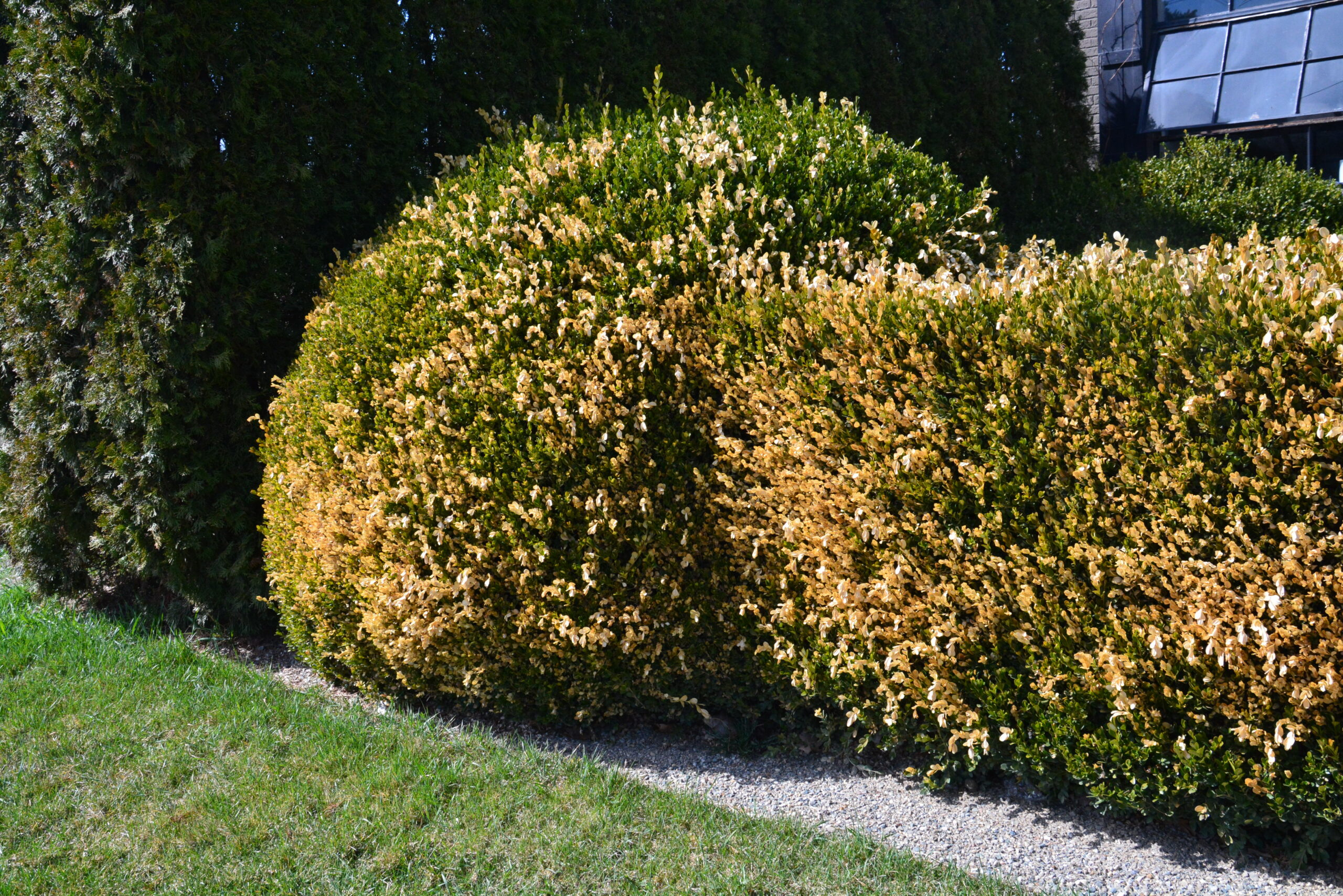 Winter Burn Boxwoods