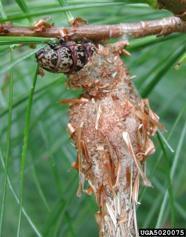 Bagworms On Evergreens - About The Insect, Damage, & Treatment