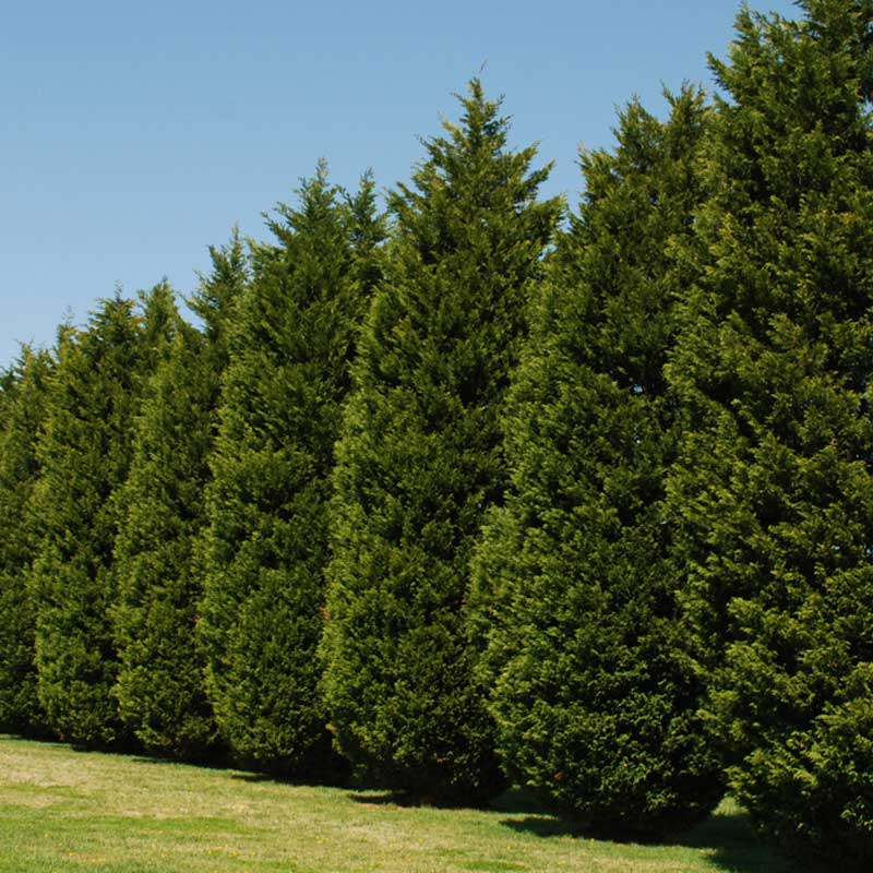 Leyland Cypress Not A Good Choice For Privacy Screens