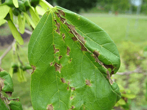 Fungal Leaf Diseases - Anthracnose