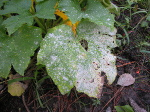 Fungal Leaf Diseases - Powdery Mildew