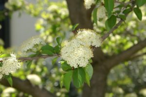 Problem Free Trees and Shrubs - Blackhaw Viburnum
