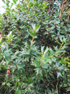 Problem Free Trees and Shrubs - Chinese Holly