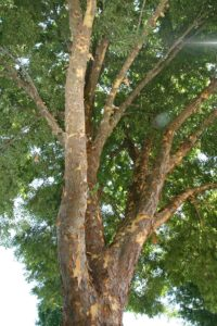 Problem Free Trees and Shrubs - Lacebark Elm