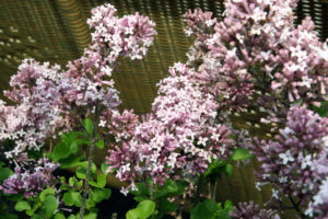 Problem Free Trees and Shrubs - Meyer Lilac