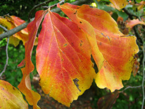 Problem Free Trees and Shrubs - Persian Parrotia