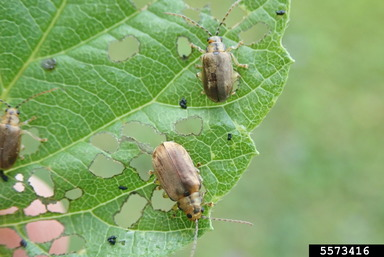 Adult Viburnum Leaf Beetle