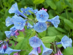 Attract Bees - Virginia Bluebells