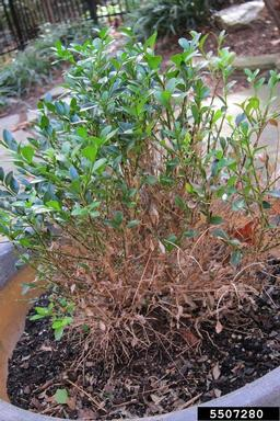 Boxwood Blight - Defoliation