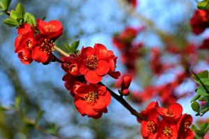 Attracting hummingbirds - flowering quince