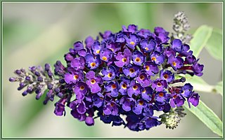 Attract Butterflies- Buddleia (aka Butterfly bush)