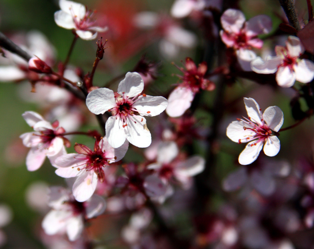 Small Trees - Purple Leaf Sand Cherry
