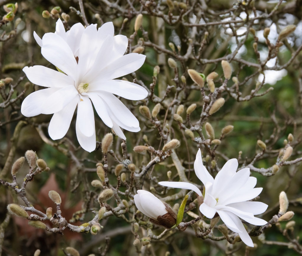 Small Trees - Star Magnolia