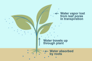Early leaf drop - heat stress- transpiration