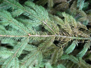 Spruce spider mites - common evergreen problems