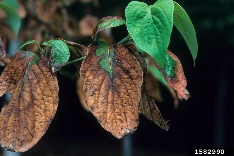 Leaf damage caused by drought