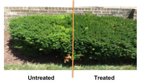before and after shrub growth regulator for plant