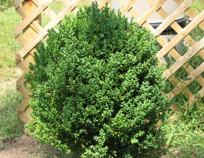 well-grown shrub likely with shrub growth regulator