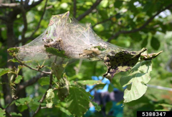 spray dormant oil horticultural spray to protect against eastern tent caterpillar infestation