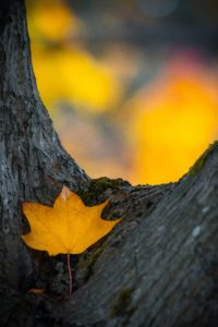 fall leaf on tree bark