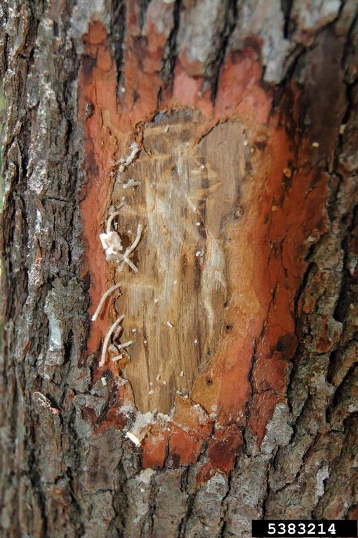ambrosia borer beetle activity infestation on tree