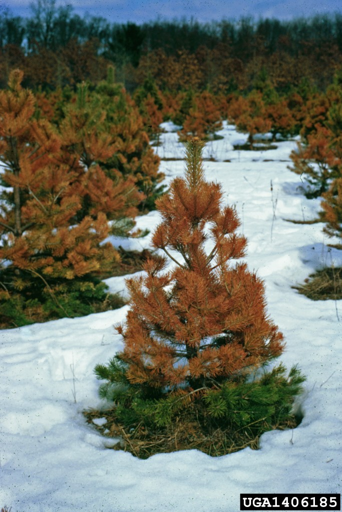 winter burn browning dying evergreen tree