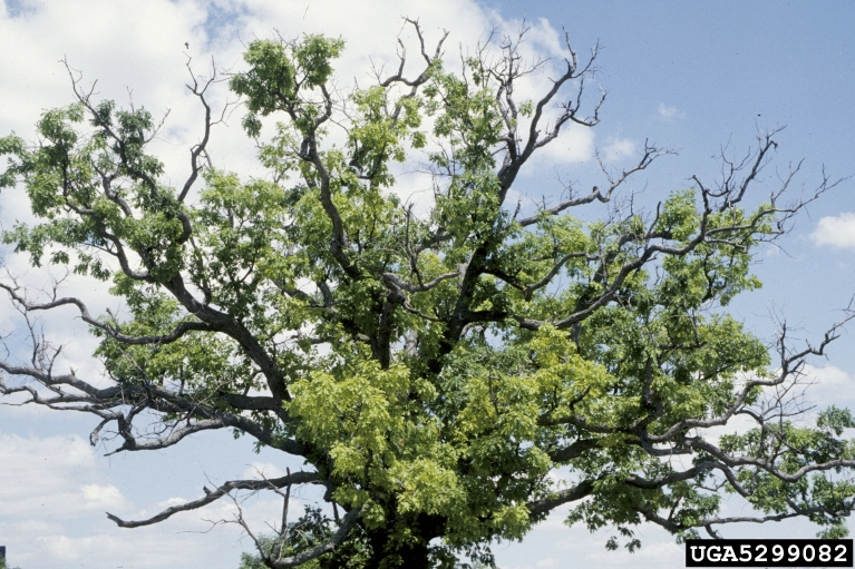 branch dieback is a symptom of an unfavorable environment