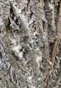 Ambrosia Borer Beetle damage that could've been prevented with tree care borer treatment